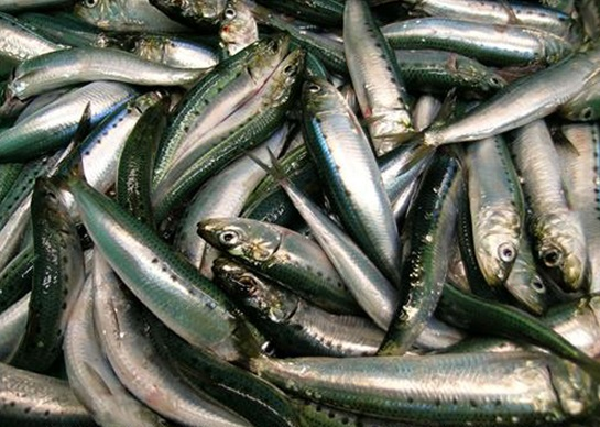 Catch_of_Pacific_sardines